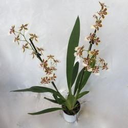 Orchidées variées collection