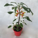 impatiens perroquet simple