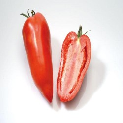 Tomate cornue greffée