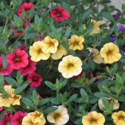 Million bells (Calibrachoa)